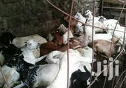 Goats For Sale | Livestock & Poultry for sale in Kajiado, Kitengela