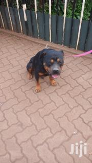 Adult Male Purebred Rottweiler | Dogs & Puppies for sale in Kajiado, Ngong