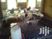 Turkey Poults | Livestock & Poultry for sale in Kilifi, Malindi Town