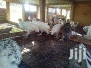 Guinefowls Keets   Livestock & Poultry for sale in Kilifi, Malindi Town