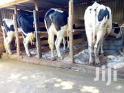 Good Cows For Sale | Livestock & Poultry for sale in Kiambu, Githunguri