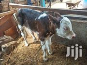 Pedigree Fleckview Young Calf | Livestock & Poultry for sale in Kiambu, Githunguri