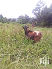 Dairy Goat Male For Sale | Livestock & Poultry for sale in Nakuru, Subukia
