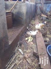 Muscovy White Ducks For Sale With Ducklings | Livestock & Poultry for sale in Kiambu, Ngewa
