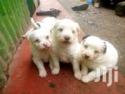 Baby Male Purebred Maltese | Dogs & Puppies for sale in Nairobi, Kahawa