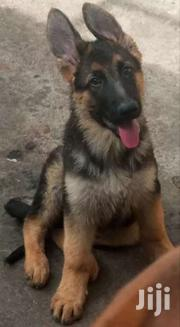 German Shepherd Dogs | Dogs & Puppies for sale in Nairobi, Woodley/Kenyatta Golf Course