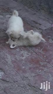 Young Male Mixed Breed Japanese Spitz | Dogs & Puppies for sale in Nairobi, Ruai