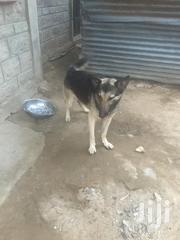 Senior Male Purebred German Shepherd Dog | Dogs & Puppies for sale in Kisumu, Kolwa Central
