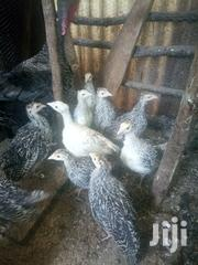 Young Turkeys | Livestock & Poultry for sale in Kiambu, Kikuyu
