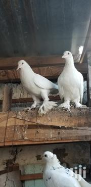 Pure Shungi Flea Pigeons | Birds for sale in Nairobi, Umoja II