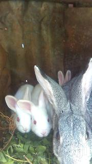 Young Rabbits | Other Animals for sale in Kiambu, Thika
