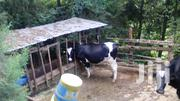 Freshian Cows For Sale   Livestock & Poultry for sale in Nyeri, Mukurwe-Ini West