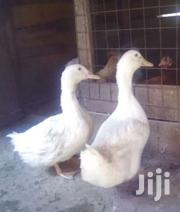 Pekin Ducks | Livestock & Poultry for sale in Nairobi, Kahawa West