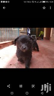 Baby Female Mixed Breed Japanese Spitz | Dogs & Puppies for sale in Nairobi, Pangani