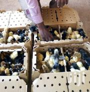 Vaccinated Kuroiler Chicks | Livestock & Poultry for sale in Machakos, Machakos Central