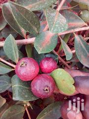 Brazilian Cherry Fruit Seedlings | Feeds, Supplements & Seeds for sale in Nyeri, Karatina Town