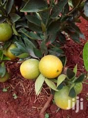Washington Grafted Sweet Orange Seedlings | Feeds, Supplements & Seeds for sale in Nyeri, Karatina Town