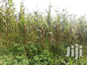 Green Maize | Feeds, Supplements & Seeds for sale in Uasin Gishu, Ainabkoi/Olare