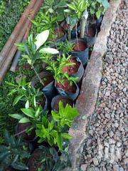 Pics Tangerines Seedlings | Feeds, Supplements & Seeds for sale in Nyeri, Karatina Town