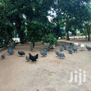 Mature Guineafowls | Livestock & Poultry for sale in Kilifi, Malindi Town