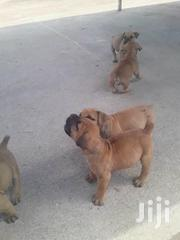 Young Female Purebred Boerboel | Dogs & Puppies for sale in Nairobi, Nairobi Central