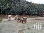 Young Female Mixed Breed | Dogs & Puppies for sale in Nairobi, Roysambu