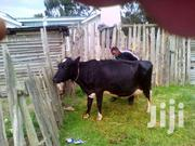 Dairy Cow | Livestock & Poultry for sale in Nyandarua, Magumu