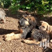 Young Male Mixed Breed German Shepherd Dog   Dogs & Puppies for sale in Kisumu, Ahero