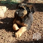 Young Male Purebred German Shepherd Dog   Dogs & Puppies for sale in Kisumu, Ahero