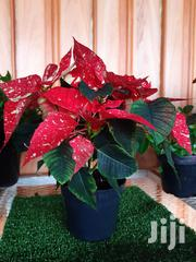 Christmas Flower (Poinsettia) at Asepsis Limited Stores | Home Accessories for sale in Nairobi, Nairobi Central
