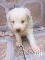 Baby Male Purebred Maltese | Dogs & Puppies for sale in Nairobi, Parklands/Highridge
