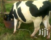 1st Time 6month Pregnant Ushers | Livestock & Poultry for sale in Nakuru, Bahati