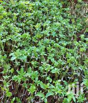 Passion Fruits Seedlings | Feeds, Supplements & Seeds for sale in Kiambu, Hospital (Thika)
