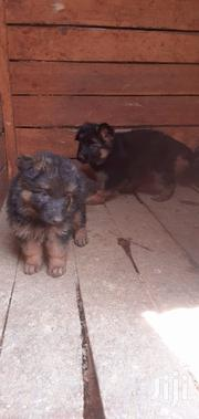 Baby Male Purebred German Shepherd Dog | Dogs & Puppies for sale in Kiambu, Kabete