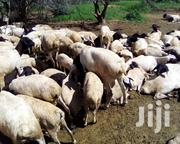 200 Goats And Sheep On Sale   Livestock & Poultry for sale in Kilifi, Mariakani