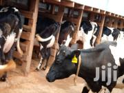 Friesian And Holstein | Other Animals for sale in Kiambu, Githunguri