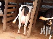 Pure Holsteins And Friesians | Other Animals for sale in Kiambu, Githunguri