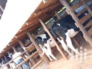 Holstein Breeds | Other Animals for sale in Kiambu, Githunguri