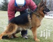 Adult Male Purebred German Shepherd Dog | Dogs & Puppies for sale in Nairobi, Nairobi Central