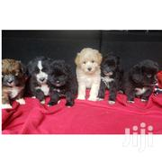 Baby Male Mixed Breed Maltese | Dogs & Puppies for sale in Nairobi, Karen