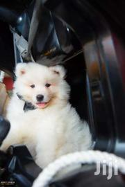 Pedigree Samoyed Puppy | Dogs & Puppies for sale in Nairobi, Kilimani