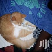 Adult Male Purebred American Bobtail | Cats & Kittens for sale in Nairobi, Embakasi
