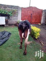 Fresian Dairy Cow | Livestock & Poultry for sale in Nakuru, Lanet/Umoja