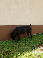 Young Female Mixed Breed Boerboel | Dogs & Puppies for sale in Nairobi, Nairobi South