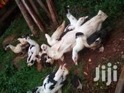 Ducks For Sale | Livestock & Poultry for sale in Kajiado, Oloolua