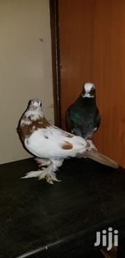 Short Beak Pigeons | Birds for sale in Nairobi, Umoja II