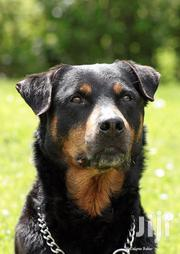 Young Male Mixed Breed Rottweiler | Dogs & Puppies for sale in Kilifi, Malindi Town