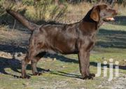 Young Female Purebred Labrador Retriever | Dogs & Puppies for sale in Nairobi, Nairobi Central