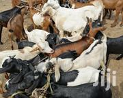 Fine Goats At The Best Price | Livestock & Poultry for sale in Mombasa, Likoni