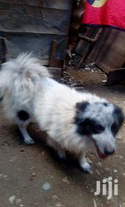 Adult Male Purebred Pomeranian | Dogs & Puppies for sale in Nairobi, Kayole Central